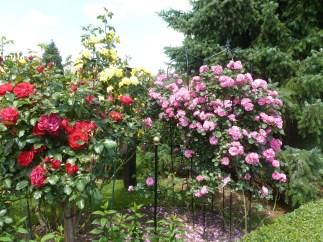 Schöne Rosenbüsche