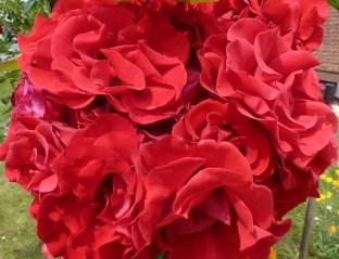 Die Rose der Farbe der Liebe