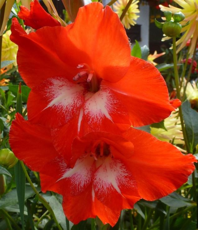 Feuerrote Dahlienblüte