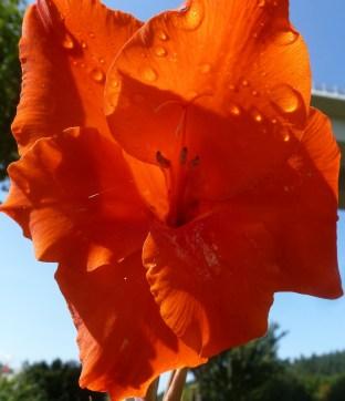 Gladiolienblüte orange