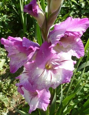 Weiß Lila Blüte
