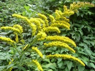 Gelbe Wildfarnblüte