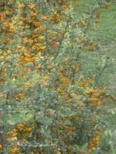 Feuerdornbusch