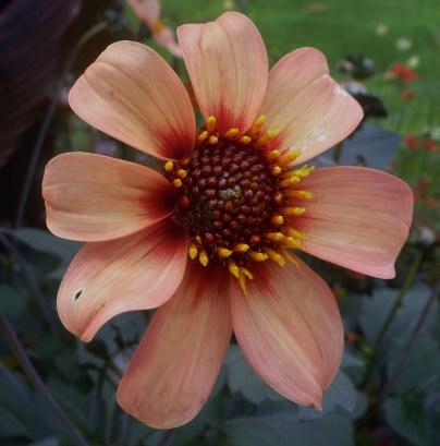 Schöne Asternblüte
