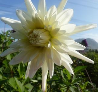Weiße Dahlienblüte