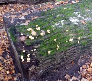 Baumstamm mit Pilze