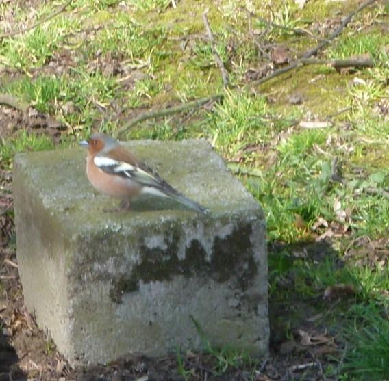 Buchfink auf dem Stein
