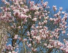 Magnolienbaum in voller Blüte