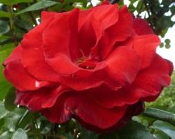 rote Rose wie Samt