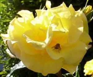 gelbe Wildrose mit Biene