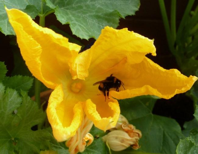 Zuchiniblüte mit Biene