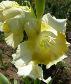 hell gelbe Gladiolenblüte