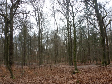 Der Buchenwald wartet auf den Frühling