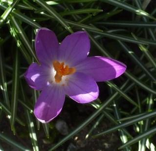 ein einzelne Krokusblüte