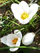 weiße Krokusse so schön