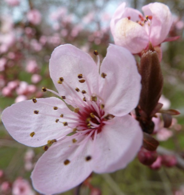 Rosane Kirschblüte