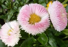 veredelte Gänseblümchen