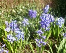 Hyazinthen Blumen