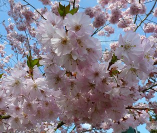 japanische Kirschlütenbaum