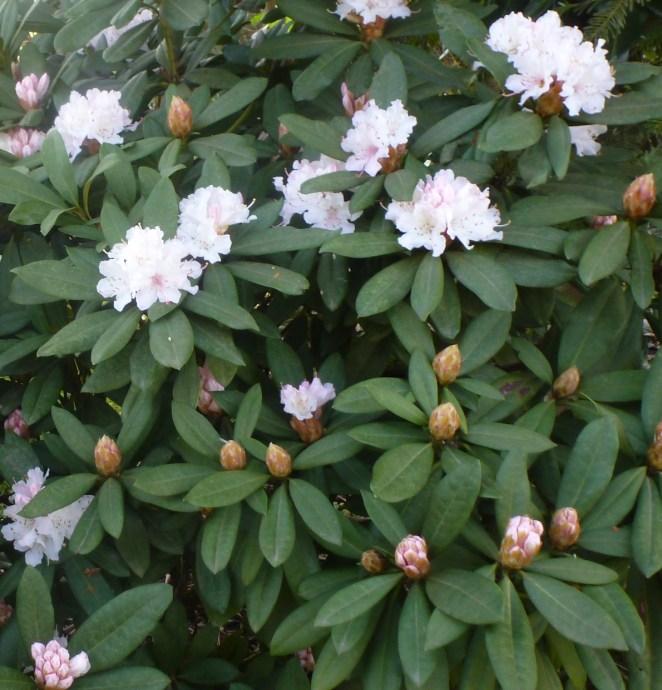 Rhododendronblütenbusch