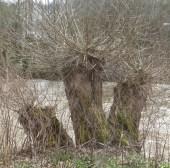 3 alte Baumstämme an der Ahr