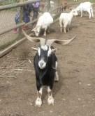 Ziegenbock am Schwanenteich-Tierpark