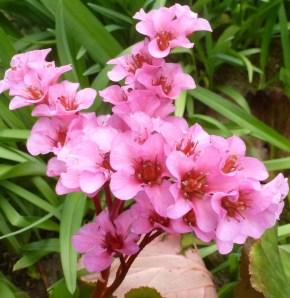 rosaner Wildblütenbusch