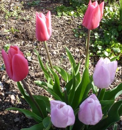 lilane rosane Tulpen