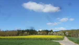 Rapsfeld zum Golfplatz