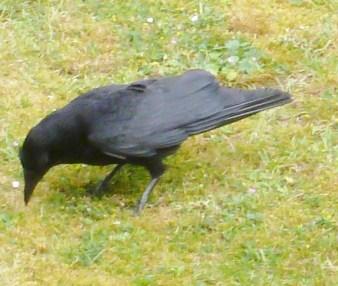 Die Krähe beim Futter suchen