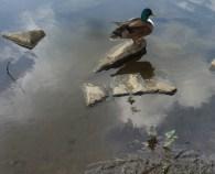 Stockente auf dem See