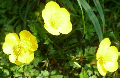 gelbe Sumpfdotterblumen