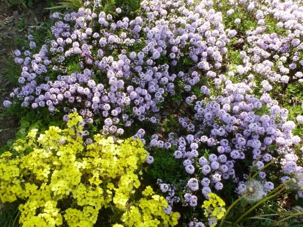 lila gelbe Bodendecker