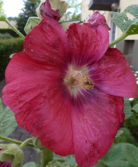 schöne rote Blüte