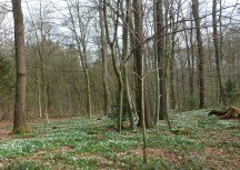 Der Wald mit Buschwindröschen
