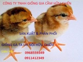 ga giong chat luong sach benh (tiem marek nito long 100%)