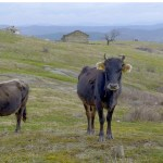 Hopes rise for Penka, Bulgarian cow that strayed outside EU