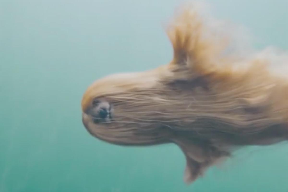This Mesmerizing Video Of A Mermaid Afghan Dog Is