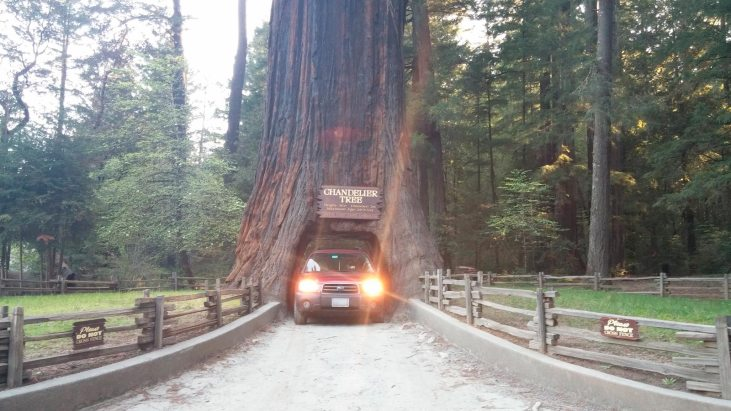 Chandelier Drive Thru Tree, Leggett, CA 2