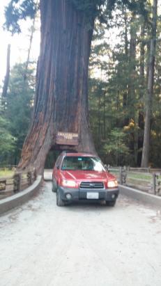 Chandelier Drive Thru Tree, Leggett, CA 3