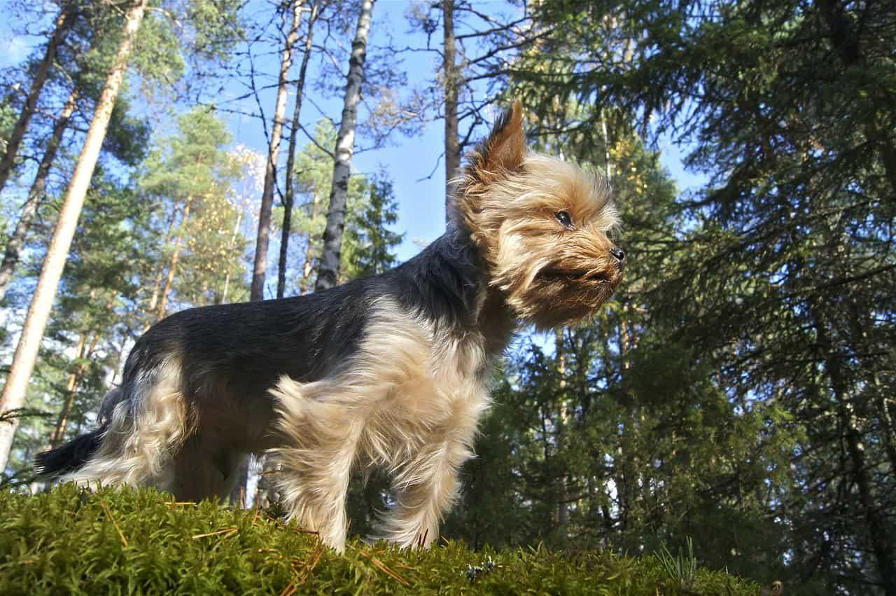 Une chienne vaillante malgré les apparences…