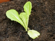 bought lettuce plant