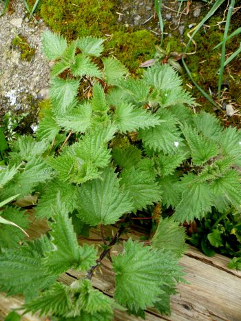 Some good nettle plants for the soup
