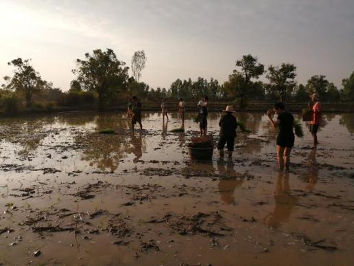 Planting rice at Gaia