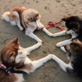 CrossWise dogs