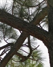 Crosswise Tree in Pine Valley