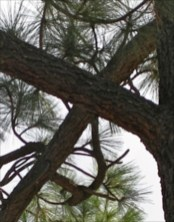 Crosswise Tree in Pine Valley