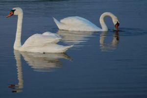 swans_31