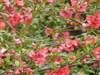 Flowering quince©Gail Harker