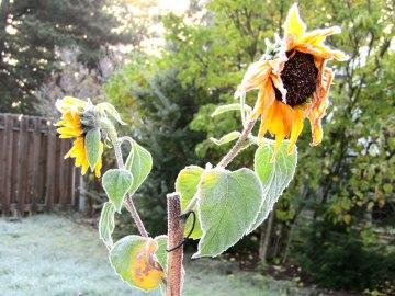 frozen sunflowers